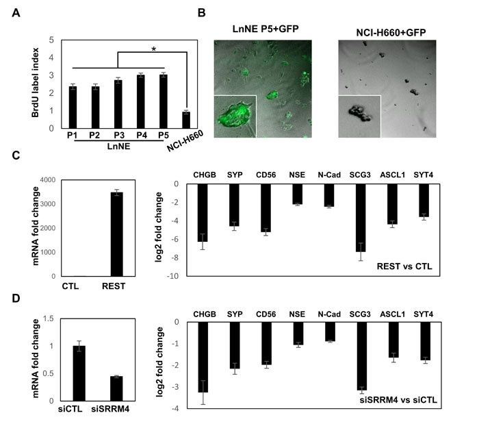 LnNE cell proliferation and transfection efficacy.
