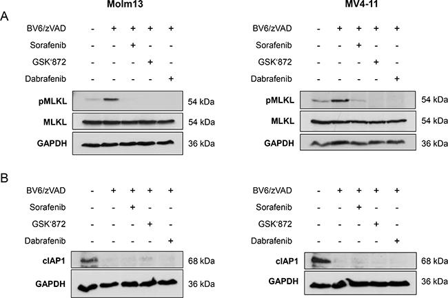 Sorafenib inhibits BV6-induced phosphorylation of MLKL in AML cells.