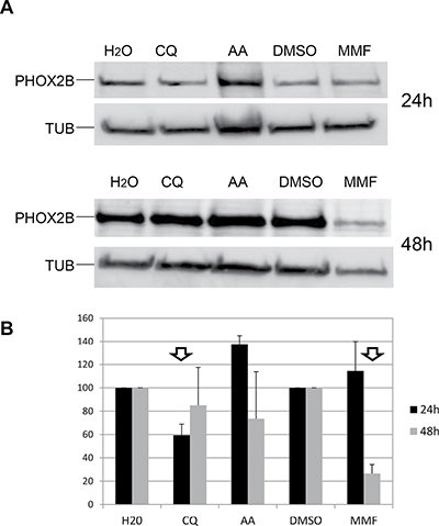 Effect of drugs on PHOX2B protein levels.