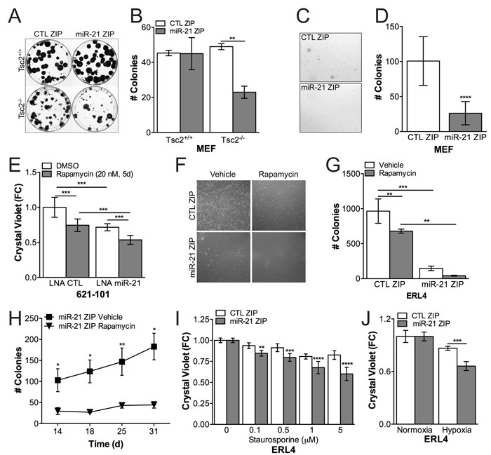 miR-21 promotes proliferation and apoptosis resistance in Tsc2