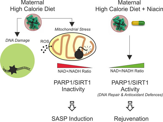 Schematic representation of the impact of maternal high calorie diet in offspring subcutaneous adipose tissue and rejuvenating effects of niacin.