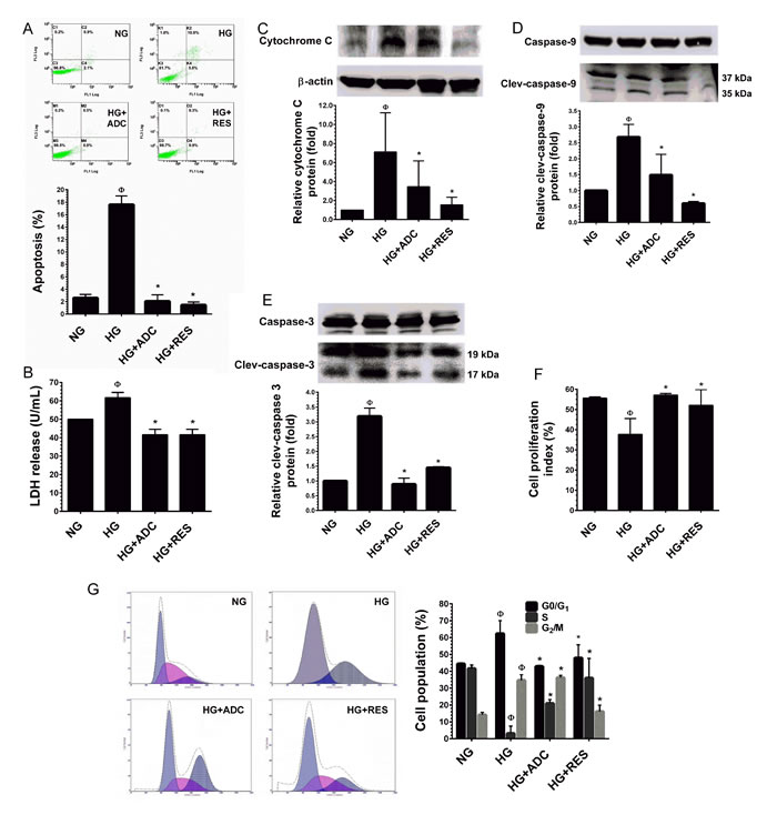 Protective effect of ADC on HG-induced HUVEC apoptosis and growth arrest.