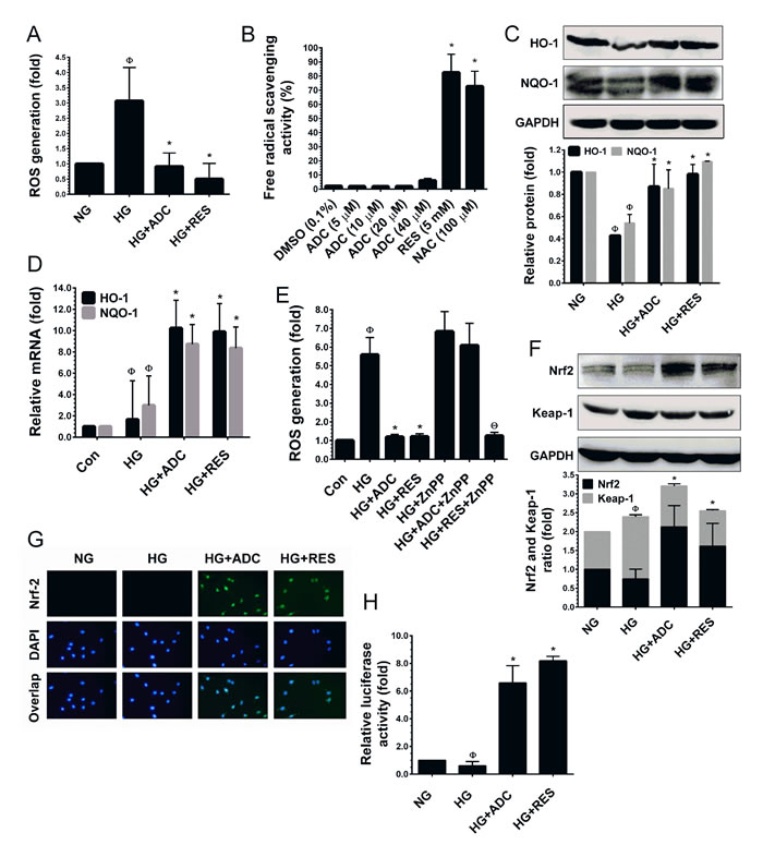 ADC activates Nrf2-dependent anti-oxidant defense in HUVECs.