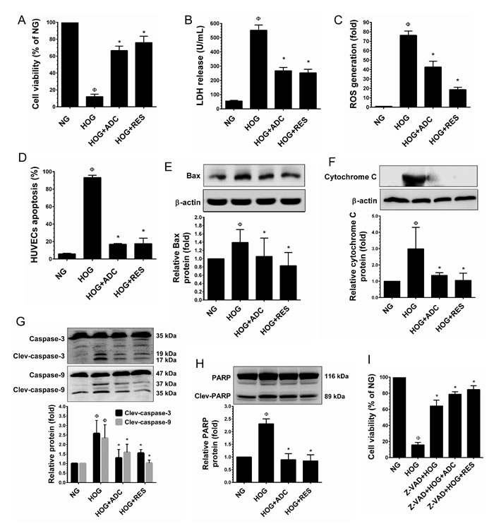 ADC protects HUVECs from hyperosmotic glucose (HOG)-induced cell death.