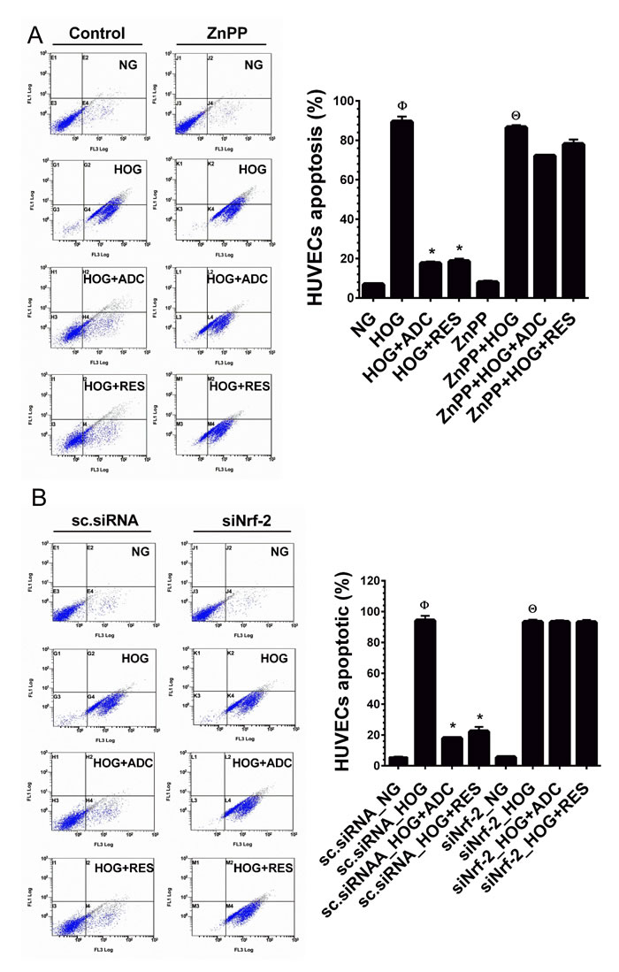 ADC failed to protect HOG-induced HUVEC apoptosis under Nrf2 silenced conditions.