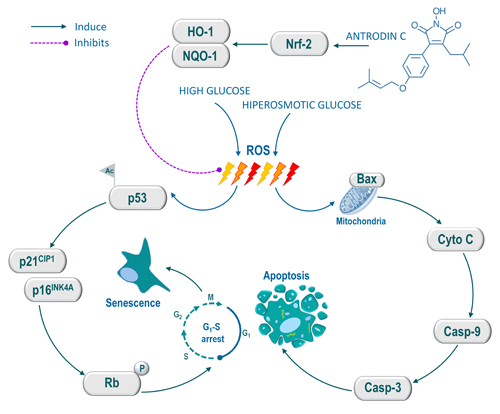 Schematic representation of antrodin C-mediated protection against high glucose or hyperosmotic glucose-induced senescence and apoptosis in human endothelial cells.