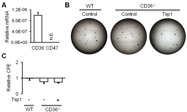 CD36 is required for Tsp1 promotion of mouse AT2 cell proliferation.