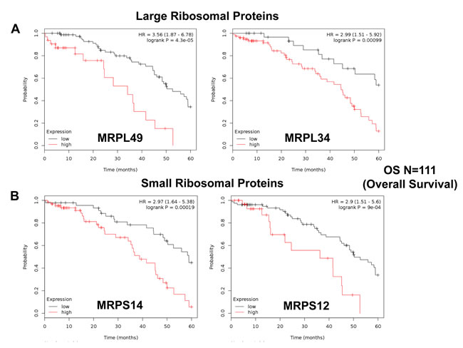 Mitochondrial ribosomal proteins (MRPs) are associated with poor clinical outcome in ovarian cancer patients.