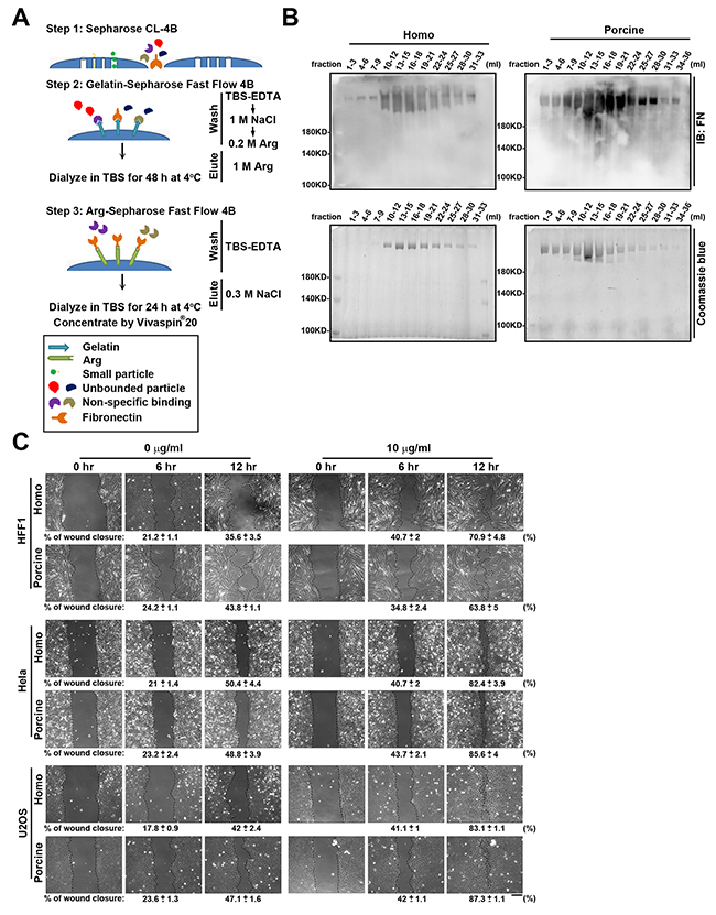 Oncotarget | Fibronectin in cell adhesion and migration via N