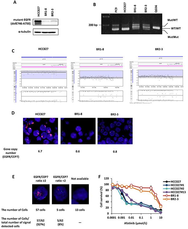 EGFR gene amplification in drug-resistant sublines.