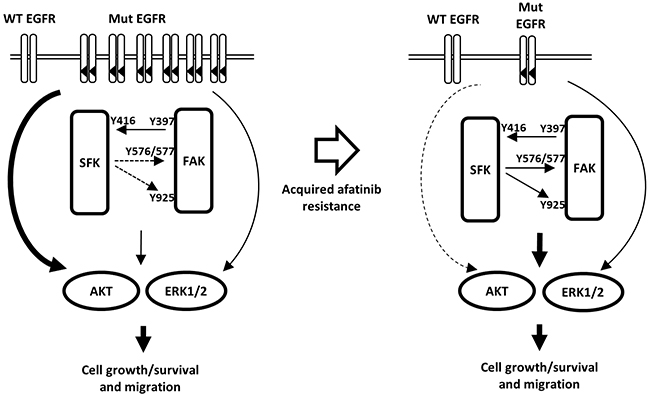 Hypothetical model illustrating the mechanism of acquisition of resistance to afatinib and the role of SFK/FAK signaling in mediating cell growth and survival.