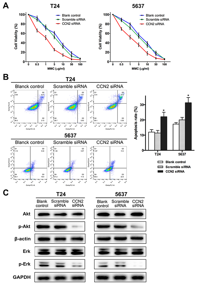 Down-regulation of CCN2 increases sensitivity of UBC cells to MMC via inhibiting activation Akt and Erk pathways.