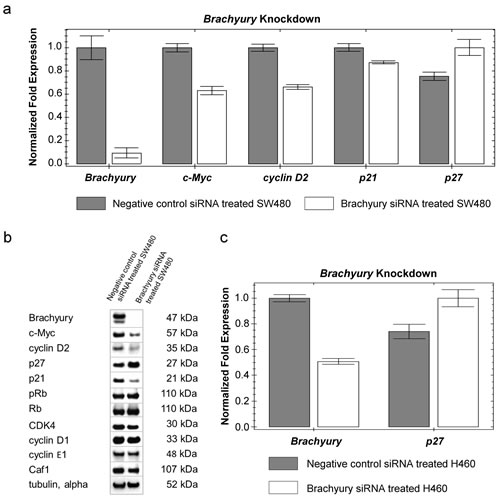 Reduced levels of Brachyury result in increased levels of p27Kip1 .