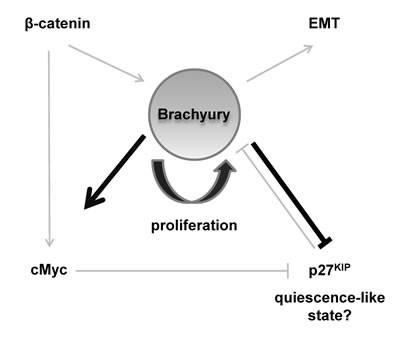 Schematic model describing a central role for Brachyury in regulating proliferation and quiescence.