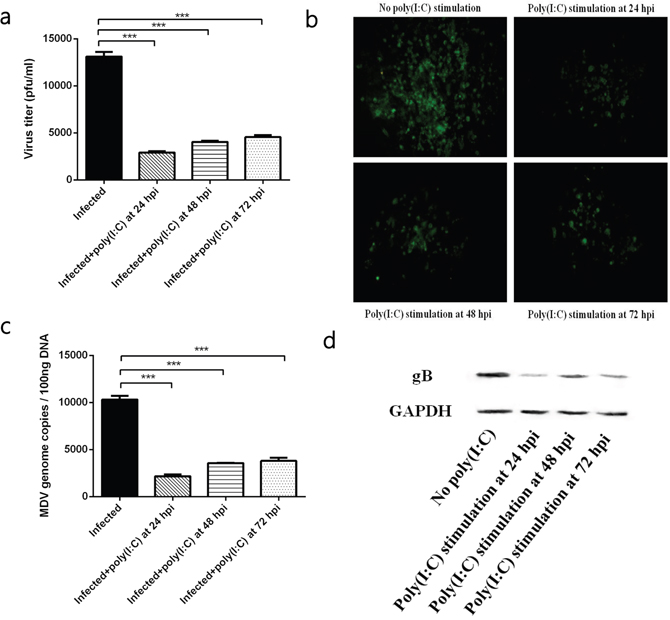 The effect of TLR3 activation on MDV infection.