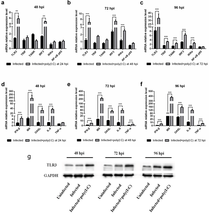 The effect of TLR3 activation on expression of genes associated with the TLR3 pathway in MDV-infected CEF Cells.