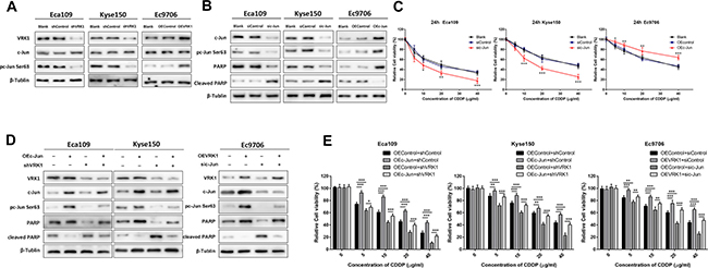 VRK1 induces CDDP resistance by activating and phosphorylating c-Jun in ESCC.