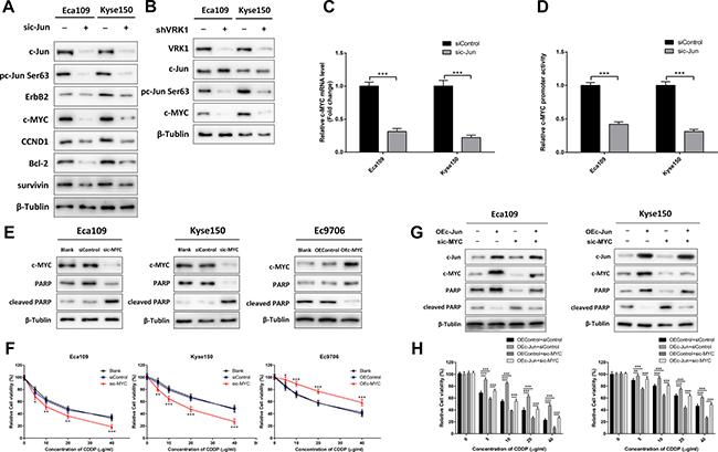 VRK1/c-Jun promotes CDDP resistance via up-regulation of c-MYC in ESCC.