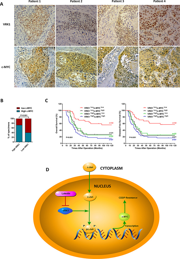 c-MYC is correlated with VRK1 expression and schematic of VRK1/c-Jun/c-MYC pathway in ESCC.