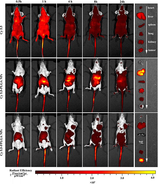 In vivo imaging of tumor bearing nude mice at different time after intravenous injection via the tail vein with free Cy5.5, Cy5.5-PLGA NPs and Cy5.5-FPLGA NPs.