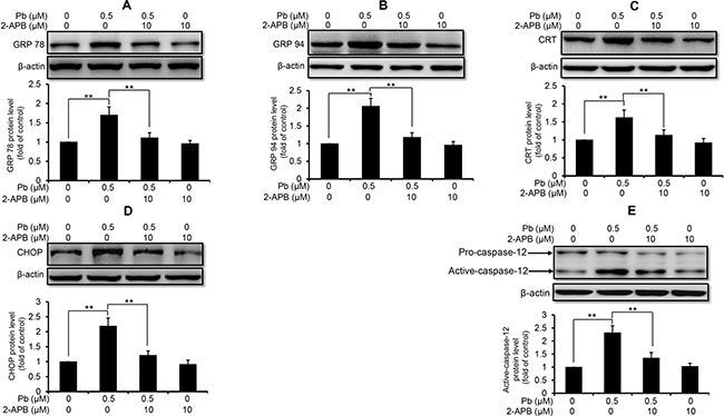 2-APB inhibited the protein expression of ER stress markers in Pb-exposed cells.