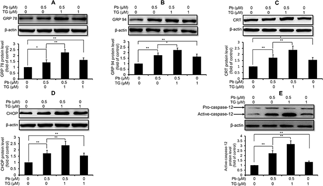 TG aggravated Pb-elevated protein levels of ER stress markers in rPT cells.