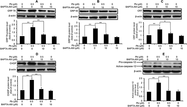 Effect of BAPTA-AM on Pb-induced protein levels of ER stress markers in rPT cells.