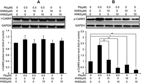 Effects of two CaMKII inhibitors (KN93, KN62) on the protein levels of t-CaMKII and p-CaMKII in Pb-exposed cells.