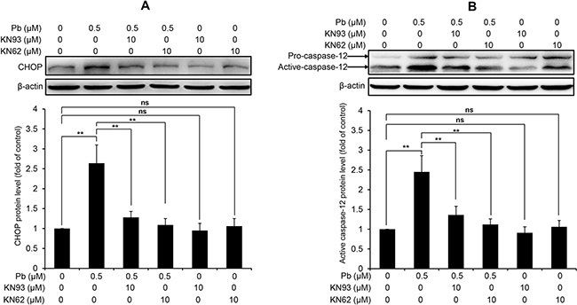 CaMKII inhibition blocks the activation of CHOP and caspase-12 in Pb-exposed rPT cells.