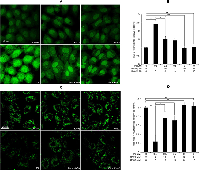 Modulation of [Ca2+]c and [Ca2+]ER by two CaMKII inhibitors in Pb-exposed rPT cells.