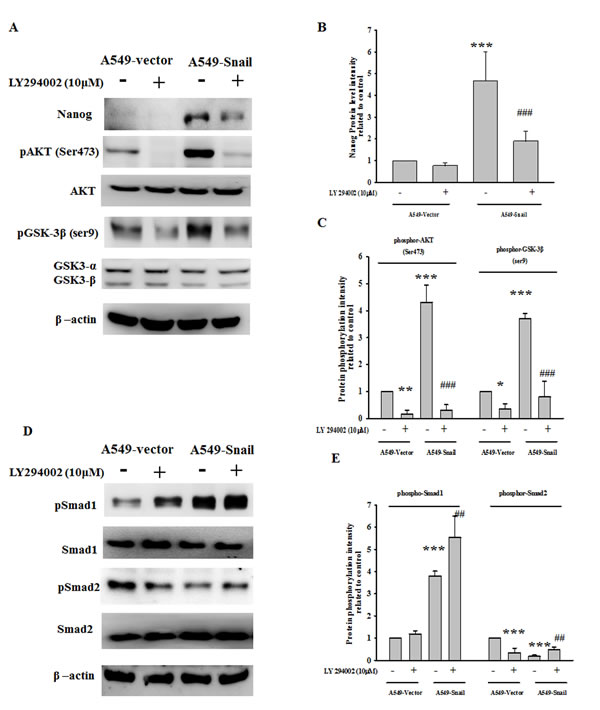 PI-3 kinase/Akt activation and GSK3β inactivation are required for Snail-induced Nanog expression.