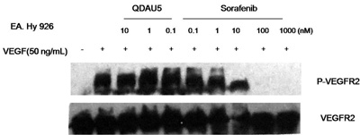 Effect of QDAU5 on the level and phosphorylation of VEGFR-2 in EA.hy926 cells.