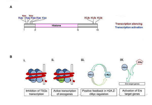 H2A.Z histone variant structure and function.