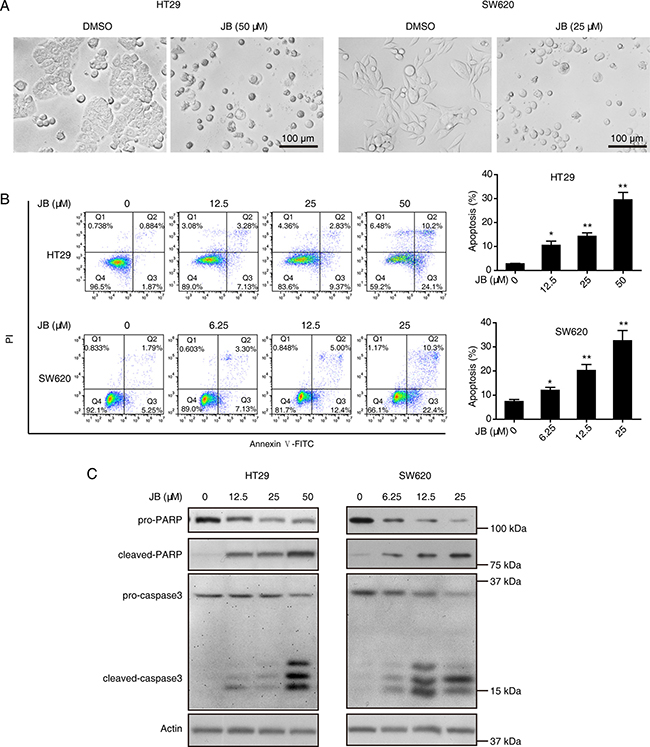 JB induces the apoptosis of CRC cells.