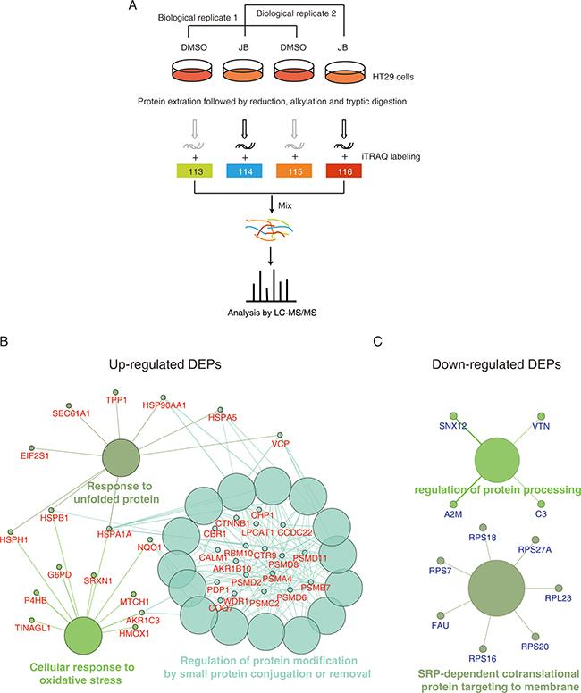 iTRAQ-based proteomics identifies JB-regulated proteins.