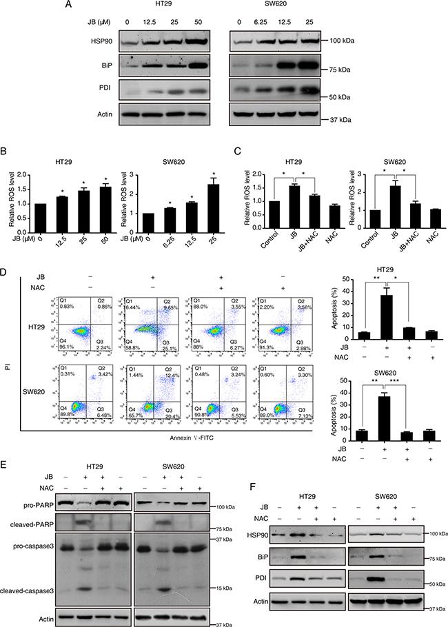 JB induces apoptosis via ROS/ER stress signaling.