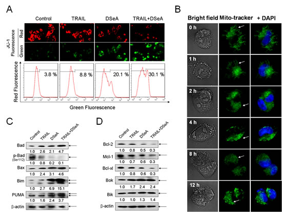 Effects of DSeA in combination with TRAIL on the function and structure of mitochondrial and expression levels of Bcl-2 family proteins in A375 cells.