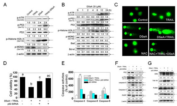 Co-treatment activated DNA damage-mediated p53-dependent apoptotic pathways in A375 cells.