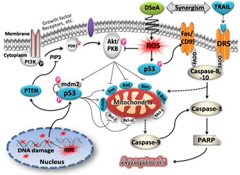 Proposed apoptosis-inducing signaling pathway triggered by DSeA and TRAIL in A375 cells.
