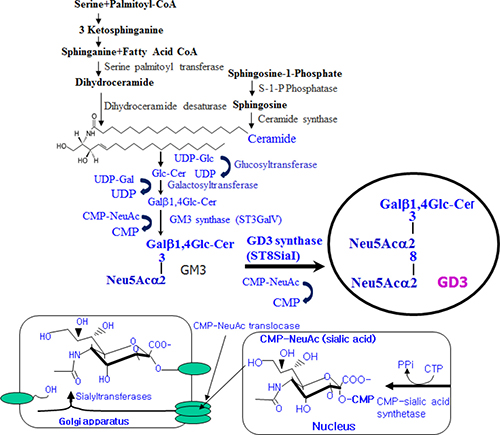 Schematic illustration of disialyl ganglioside GD3 synthesis in mammalian cells.