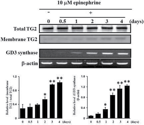 Increase in membrane recruitment of TG2 in response to epinephrine.