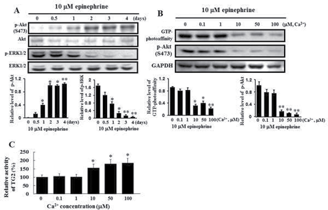 Activation of Akt phosphorylation and inactivation of ERK1/2 by treatment with 10 μM epinephrine and comparison of the GTP photoaffinity of membrane-bound TG2 and its transglutaminase activity at varying calcium concentrations.