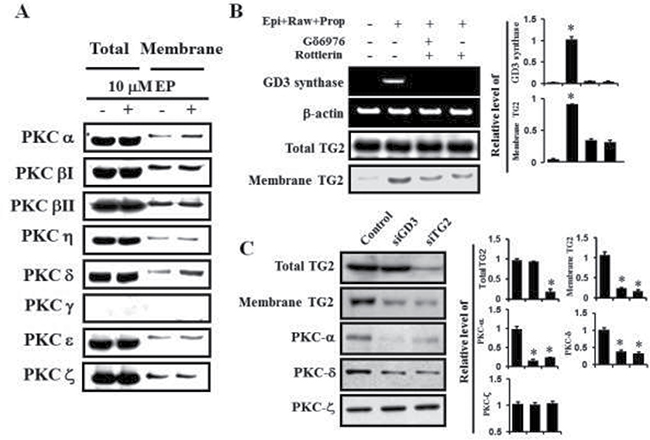 PKC α and δ mediated GD3 synthase expression via α1-AR/TG2.