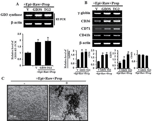 GD3 synthase expression and expression of several erythroid differentiation marker genes induced by α1-AR/TG2-mediated signaling.