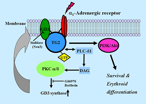 Schematic diagram of GD3 synthase expression induced by α1-AR/TG2-mediated signaling in K562 cells.