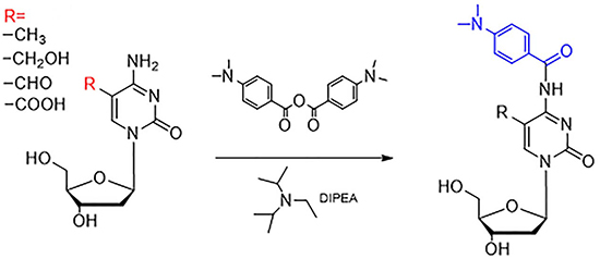 Derivatization of 5-mC, 5-hmC, 5-foC, and 5-caC by 4-dimethylamino benzoic anhydride.
