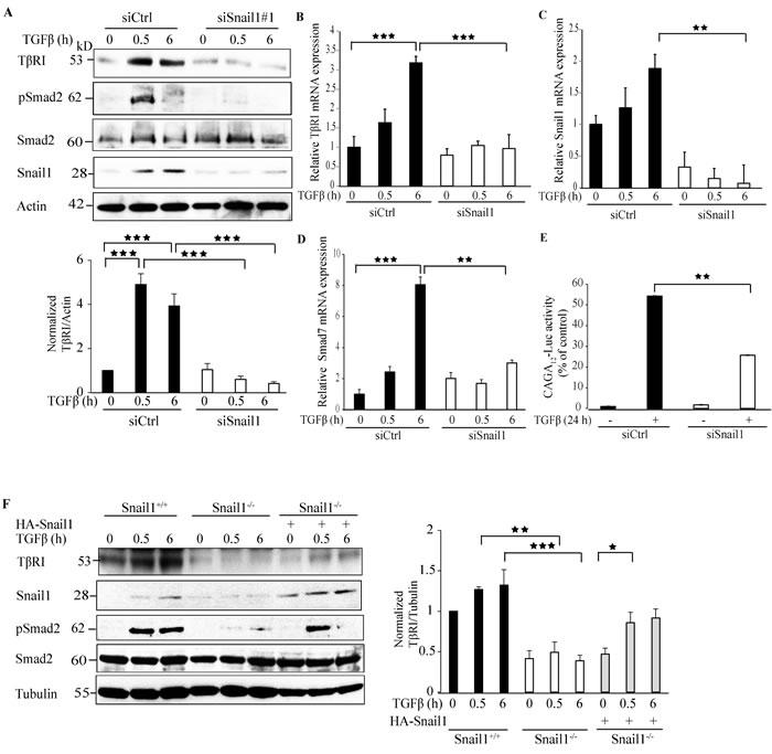 Snail1 regulates TβRI expression.