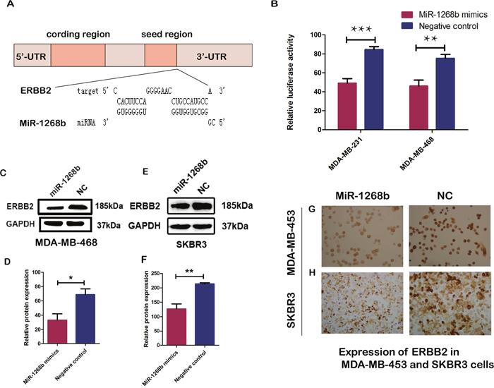 ERBB2 is a direct target of miR-1268b.