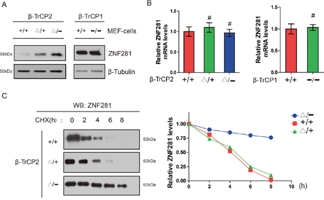 Disruption of the β-TrCP2, not β-TrCP1 gene, induces accumulation of ZNF281 in MEF cells