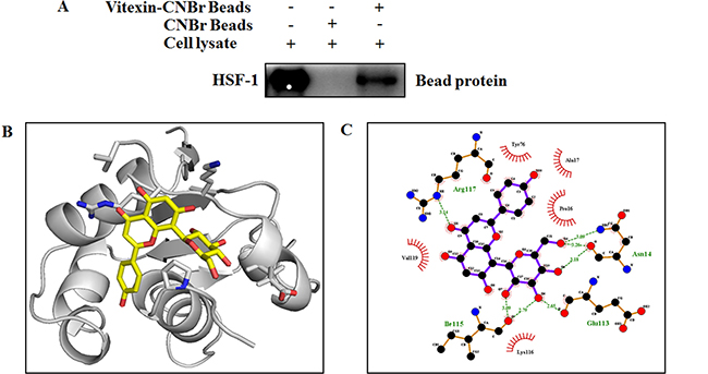 Vitexin binds to the DNA binding domain of HSF-1.
